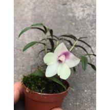 """Den.(glomeratum x cuthbersonii) x Den. agathodaemonis """"Pink"""""""