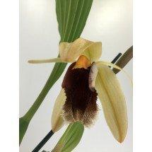 Coelogyne usitana x salmonicolor