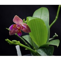 "Phalaenopsis Joy Fairy Tale ""Joy"""
