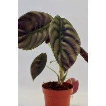 Alocasia cuprea ''Red Dragon''( 1 a 3 leaves)