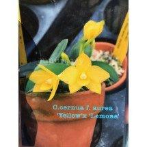 "Sophronitis cernua f. aurea ""Yellow"" x Lemone"