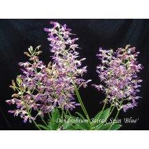 "Dendrobium Jairak Spin ""Blue"" ""Big"""