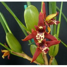 "Maxillaria tenuifolia ""Big Plant"""
