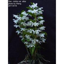 "Dendrobium nobile var. alba ""Virginalis"" ""Big Plant"""