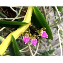 "Pelatantheria insectifera ""Big"""