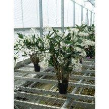 """Dendrobium delicatum """"Big"""""""
