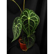 Anthurium clarinervium  ''small baby plant 1-2 leaves''