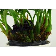 """Maxillaria schunkeana """"Big"""""""