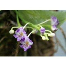 Phalaenopsis appendiculata