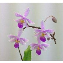 Phalaenopsis Venus