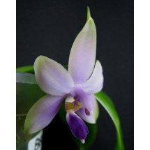 Phalaenopsis violacea var. coerulea