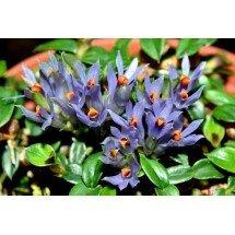 """Dendrobium parvum (delicatulum) """"Violet Blue"""""""