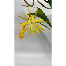 Epiphyllum Yellow