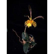 Psychopsis Mariposa x Psy. limminghei