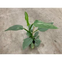 Philodendron ''Silver Queen''