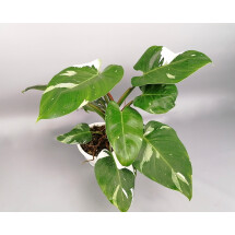 "Philodendron white princess ""Big Plant"""