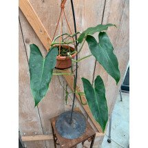 Philodendron Burle Marx ''Rare Arrowy Type''