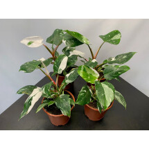 Philodendron White Princess ''4-5 leaves''