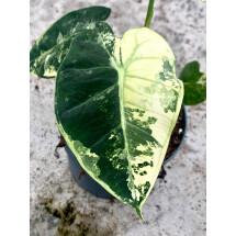 Alocasia Frydek variegata aurea