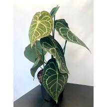 """Anthurium clarinervium """"Big XXL plant """""""