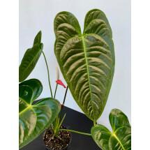 Anthurium veitchii hybride  ''Big Plant''