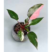 Philodendron Pink Princess ''Marble''