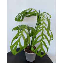 Monstera epipremnoides ''Esqueleto'' 7/8 leaves