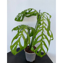 Monstera epipremnoides ''Esqueleto'' 2-3 leaves cutting