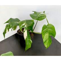 Epipremnum Pinnatum  Variegata Albo ''Big Leaves''