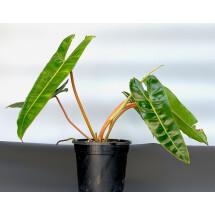 Philodendron billietiae (Medium Plant)