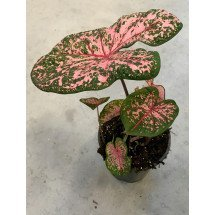 Caladium Pink Beauty