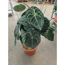 """Anthurium clarinervium """"Big XXL 2 Plants"""""""