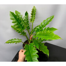Philodendron narrow (small plant)