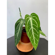 Anthurium villenaorum (2/3 Leaves)