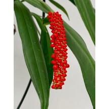 """Anthurium bakeri """"Big Plant"""""""
