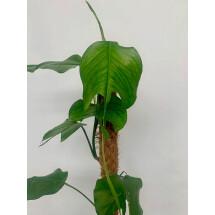 Epipremnum pinnatum 'Skeleton Key' (Small leaves)