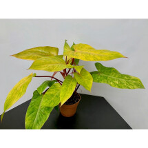 Philodendron Painted Lady (4-5 leaves) ''Christmas Deals''