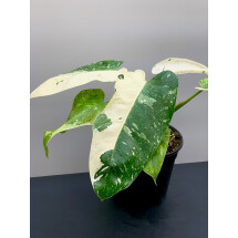 Philodendron Jose Buono (2-3 Leaves)