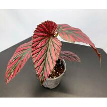 Begonia brevirimosa
