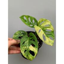 Monstera adansonii variegated aurea nr 5  (4 + Leaves)