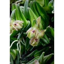 Epidendrum schlechterianum