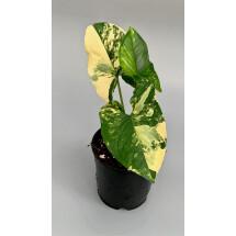 Syngonium aurea yellow variegata marble