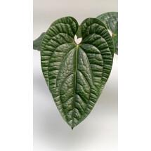 Anthurium radicans
