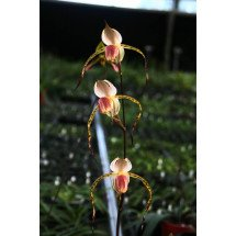 "Paphiopedilum stonei ""Yangji #2"" x stonei ""Yangji #1"" (Nice Big Plant)"