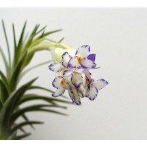 "Tillandsia aeranthos ""semi alba"""