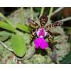 Cattleya aclandiae