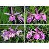 """Brassanthe Maikai x Brassavola Little Star """"Big Plant"""""""